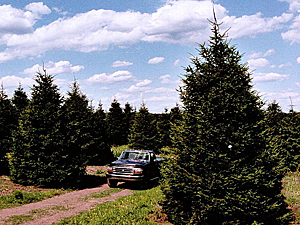 Norway Spruce 22'-30'